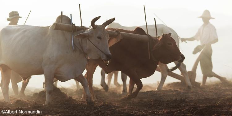 hard working farmers fields Mya - albertnormandin | ello