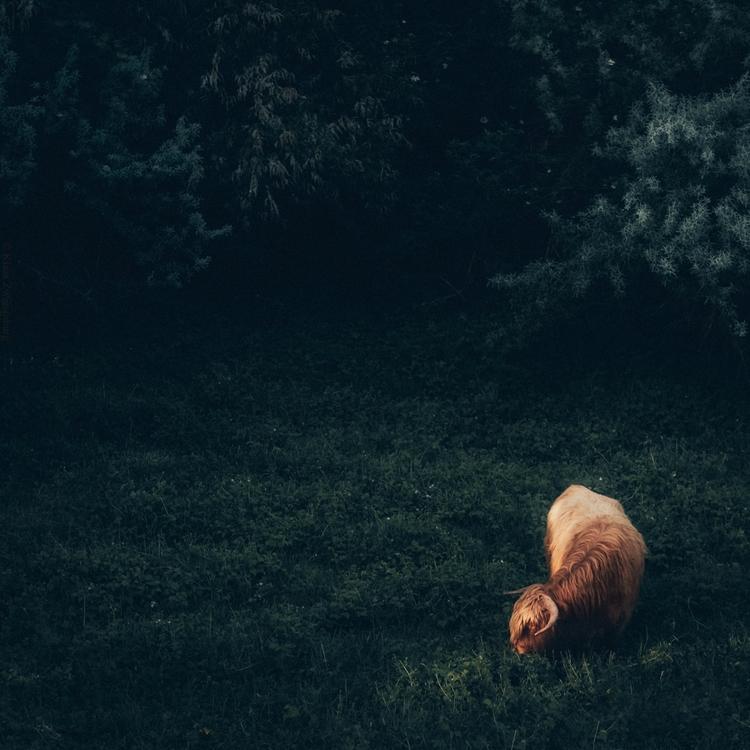Ray, 2017 - animals, color, cow - klaasphoto | ello
