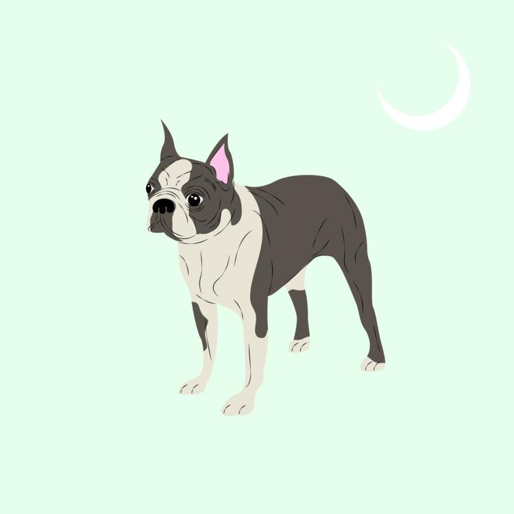 Boston Terrier Digital 2017 - illustration - xeezles | ello