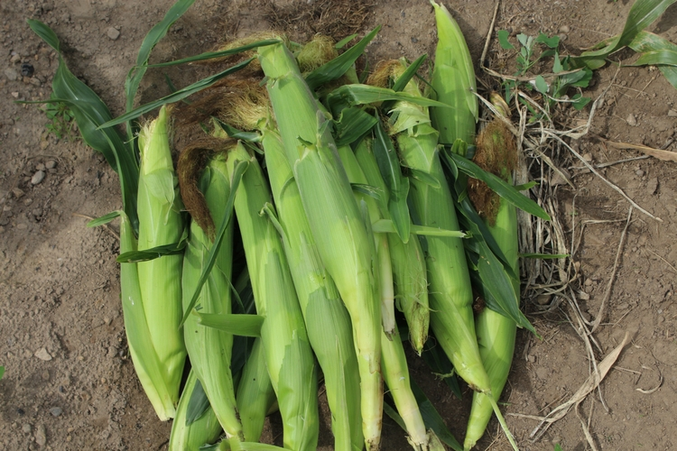 finally ears corn yesterday sta - ejfern28 | ello