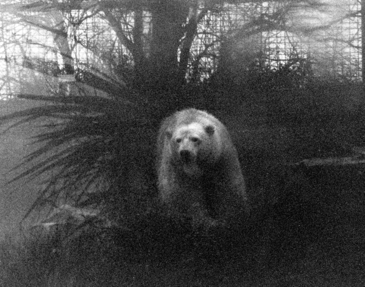 Polar bear rain Dublin Zoo. Man - mlonergan | ello