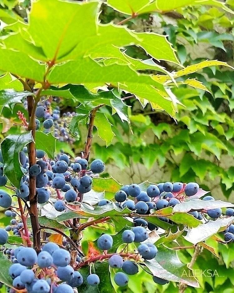 fruits, berries, blueandgreen - aleksaleksa | ello