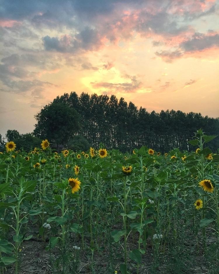 Sunflowers Watching Sunset 8/10 - retroyeti | ello