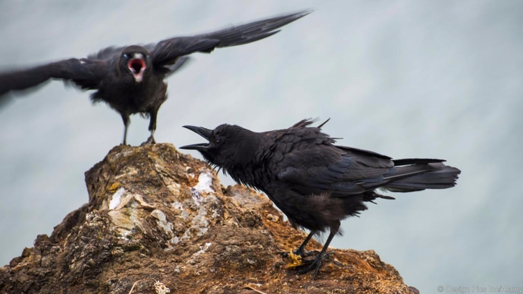 CROWS SMARTER THOUGHT BIRDS FEA - valosalo | ello