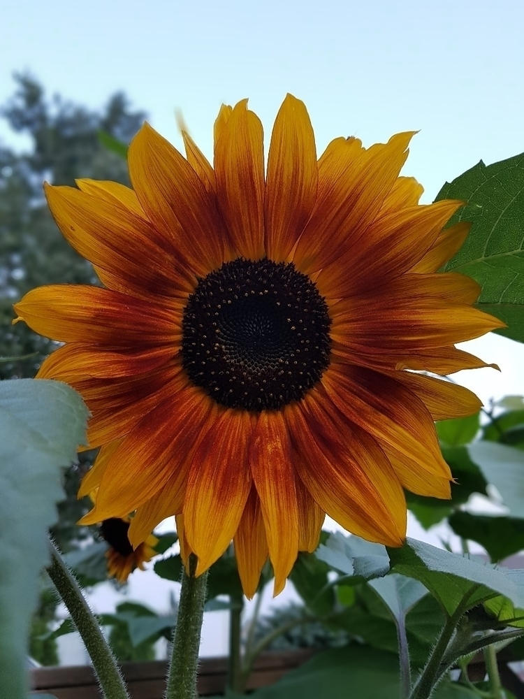 Autumn Beauty Sunflower - sunflower - jessa_pea | ello