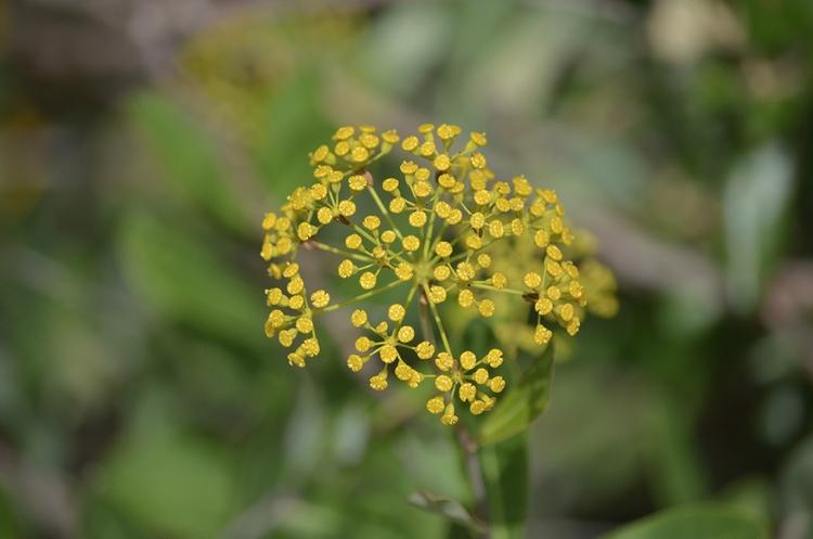 Les fleurs de panais sauvage da - le_m_poireau   ello