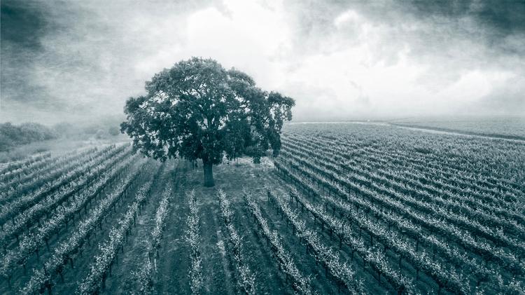 Pinot Noir Vineyard heart Sonom - mikelpucci | ello