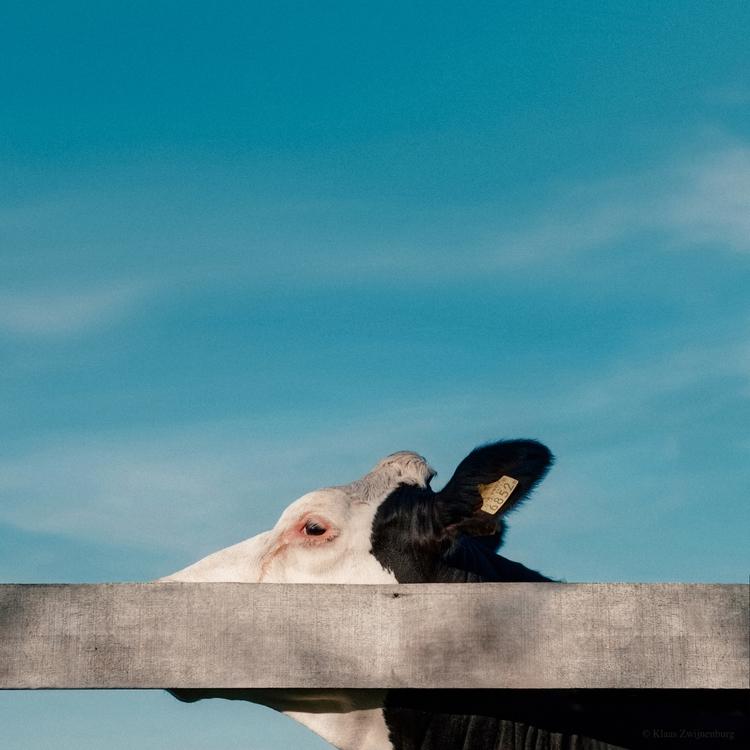 animals, color, cow, blue, nature - klaasphoto | ello