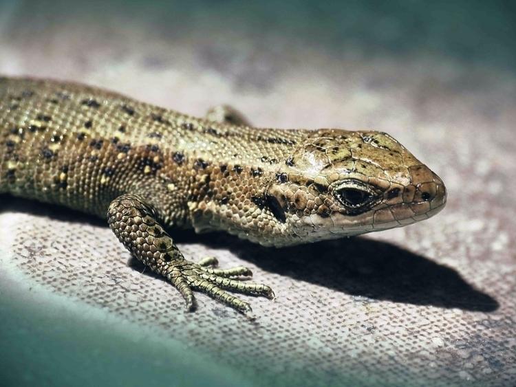 蜥蜴 – Tokage Lizard Şopârlă Lace - gebeleizis | ello