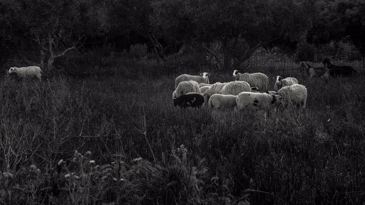 Sheep - crete, greece, sheep, sunset - julian_k | ello