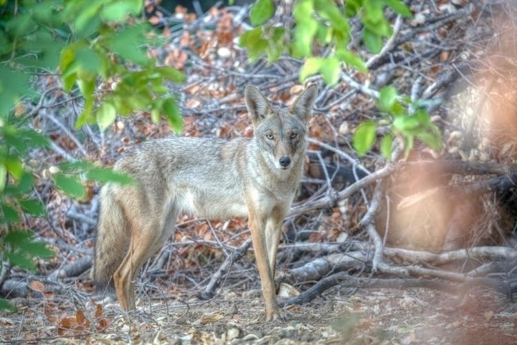 Coyote, Orcutt Ranch, West San  - ellomaggie   ello