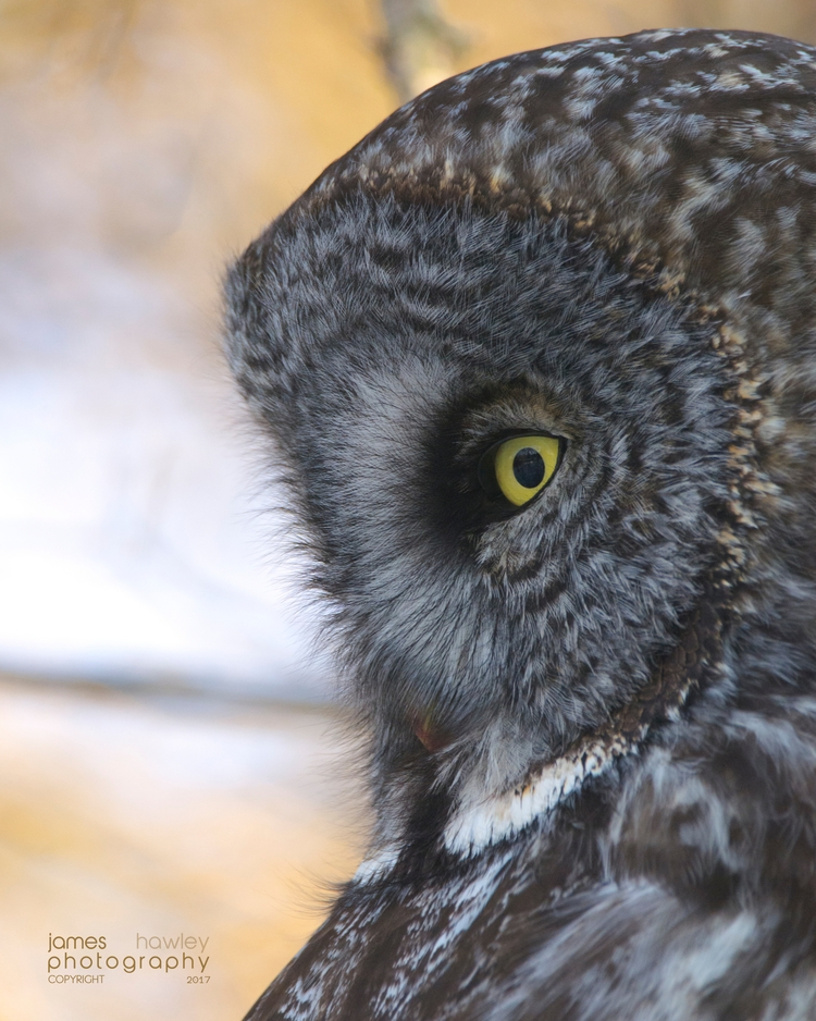 Great Grey Owl - owls, greatgrey - freedomengine | ello