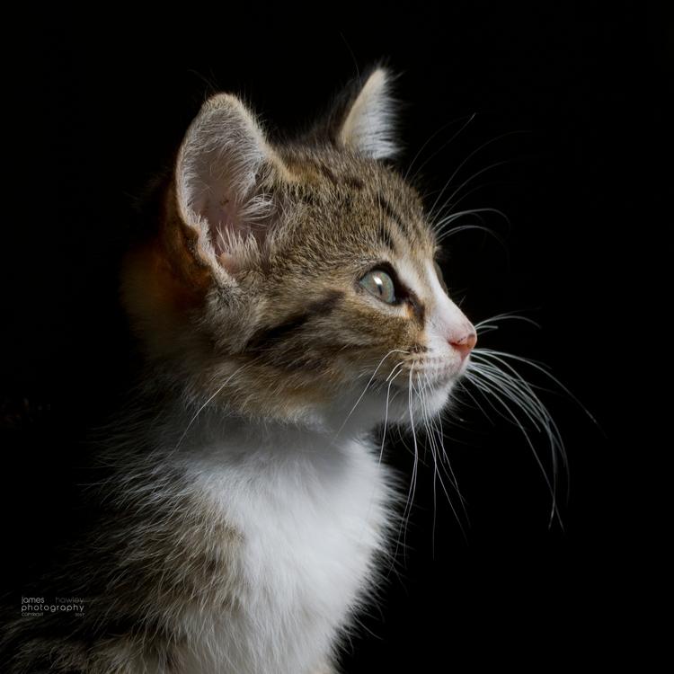 Sir Perry - kitten, cat, pet, animal - freedomengine   ello