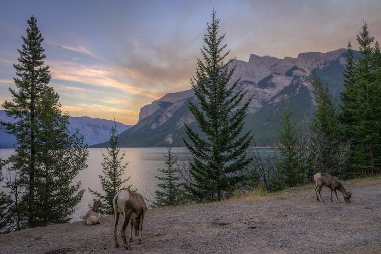 *Goat Threes* juvenile bighorn  - jeffmoreau | ello