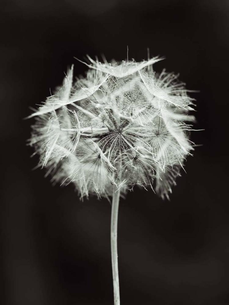 plant mistaken giant dandelion - brookeryan | ello