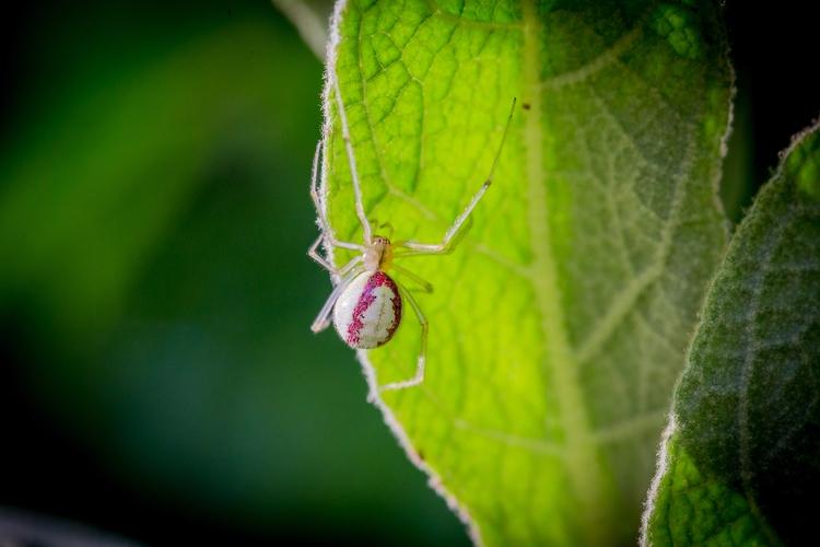 Candystripe Spider, Enoplognath - osborne | ello