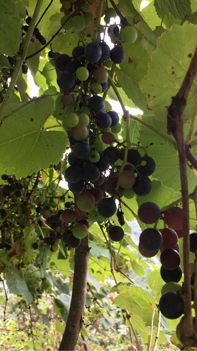 grape, trabzon, nut, garden, village - mehmet1 | ello