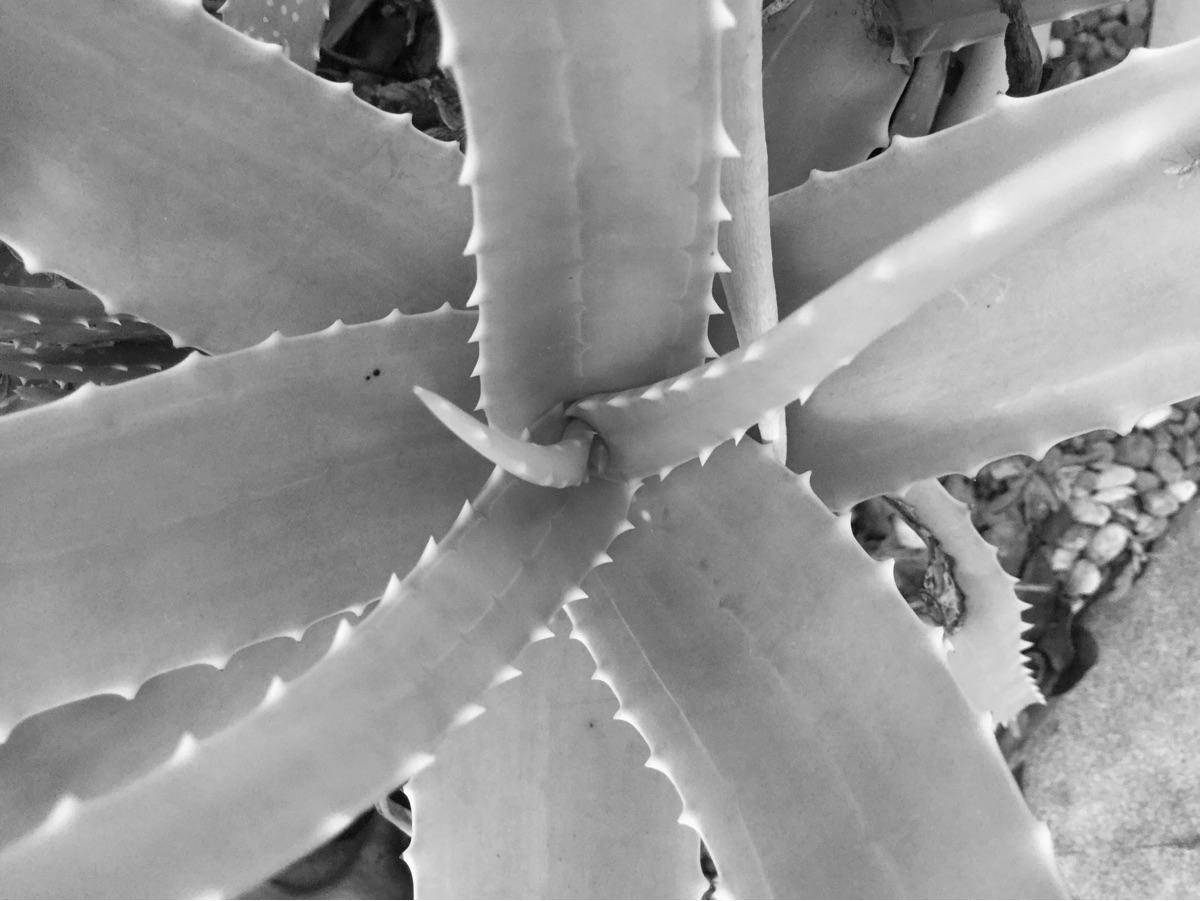 Aloe Plant Growing Pot Apps htt - mikefl99 | ello