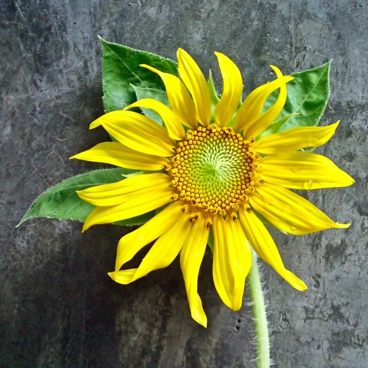 Sunflower garden - danileis   ello