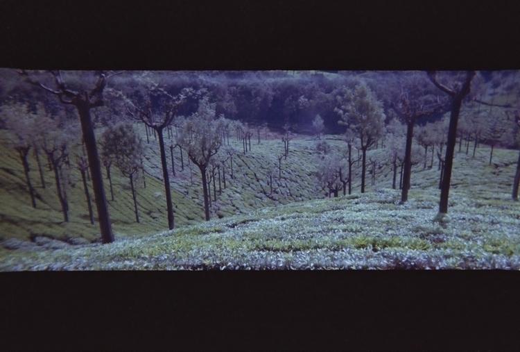 tea plants ooti, india - analog - yuradura | ello