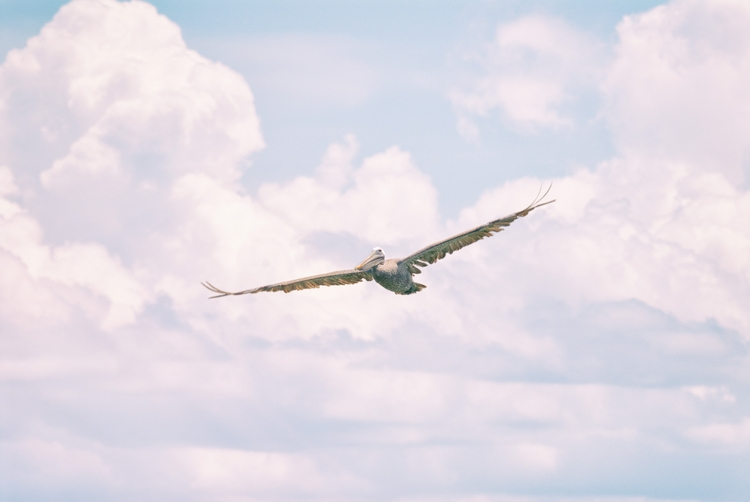 flight pelican, Maria Island - Anna - christofkessemeier | ello