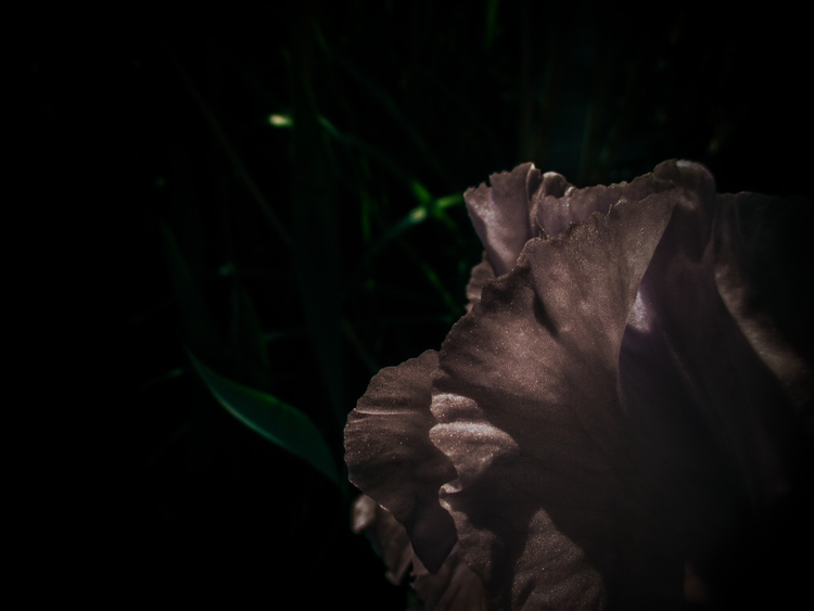 Blue Iris - flower, nature, photography - katcigarette | ello