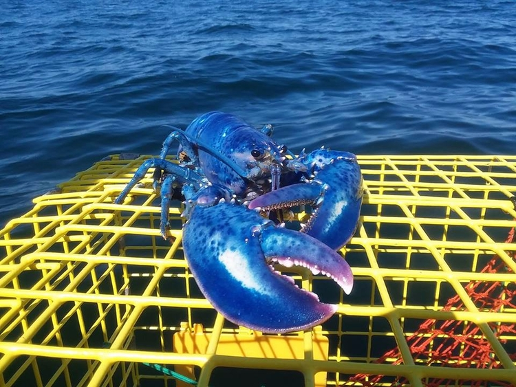 Rare Blue Lobster (released sea - tbiveteran | ello
