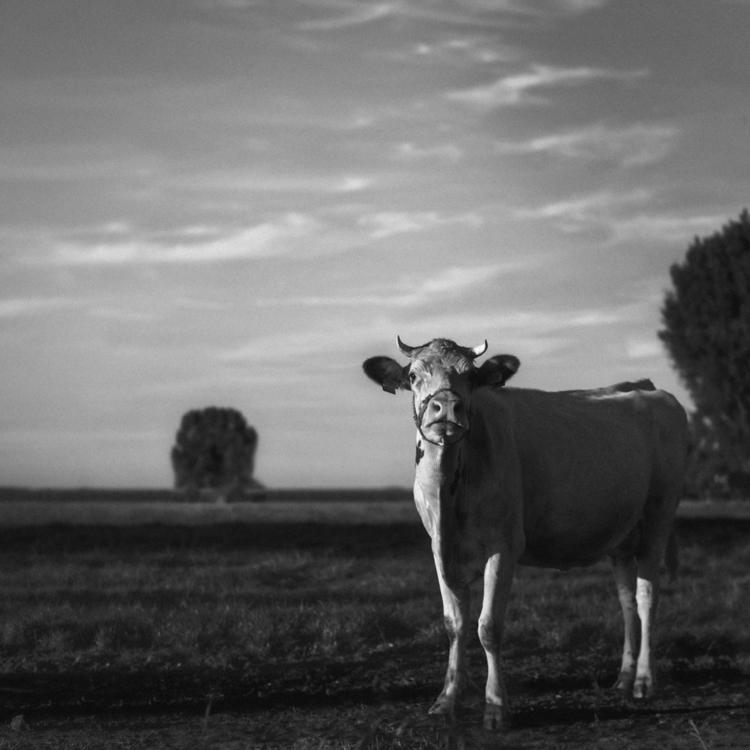 Cheese Milk - animals, blackandwhite - klaasphoto | ello