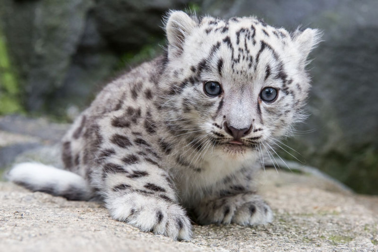 Kitai Snow Leopard Cub - wildlife - red_wolf | ello