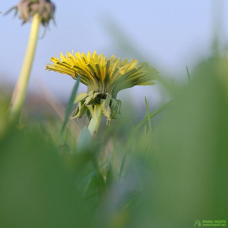 Deep Spring Dandelion (Taraxacu - pawelwiesyk | ello