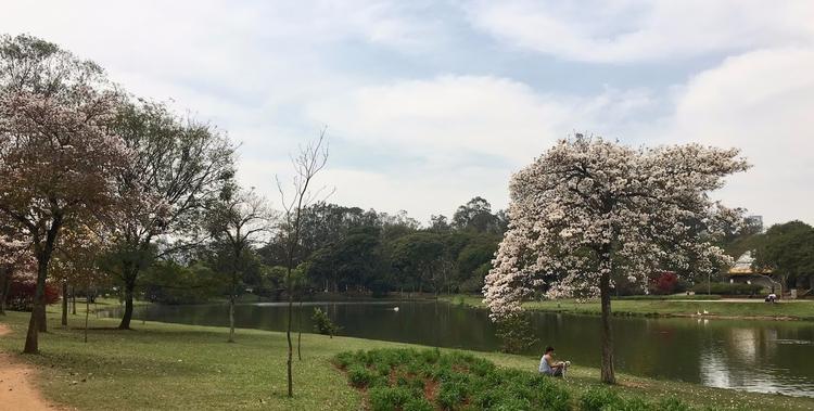 Ipês-brancos floridos último mê - antoniomg | ello