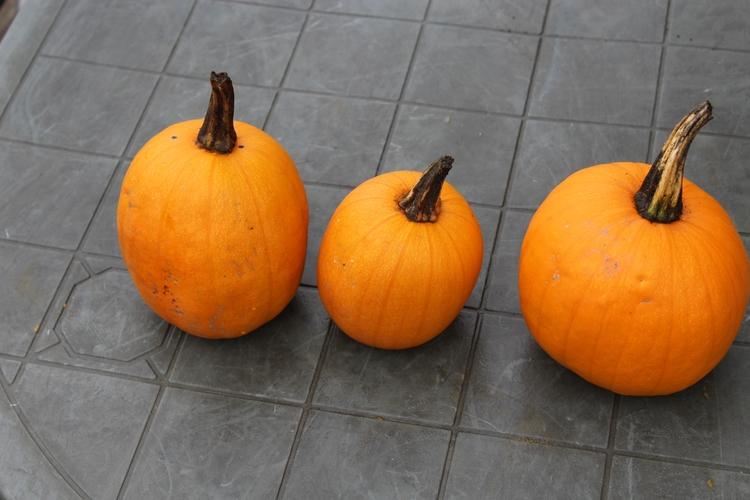 time bring pumpkins ready time - ejfern28 | ello
