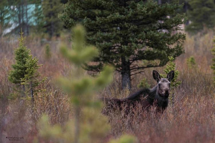 Young Cow Moose, 2017 tall moos - azdrk | ello