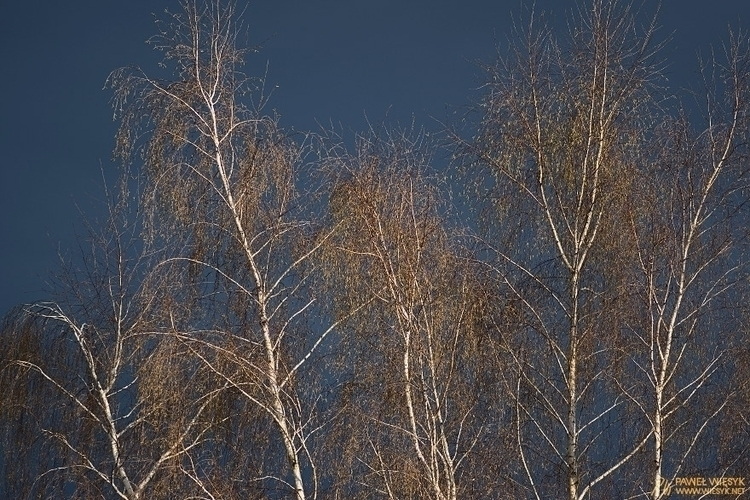 Silver Birches Spring - photography - pawelwiesyk | ello