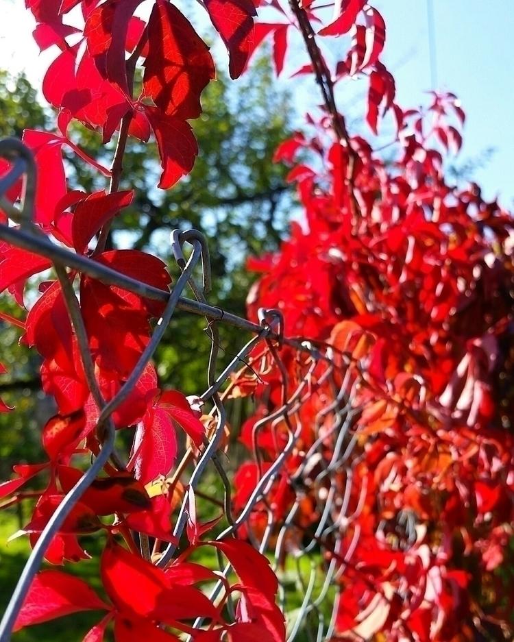 Autumn - red, leaves, autumn, seasons - aleksaleksa | ello