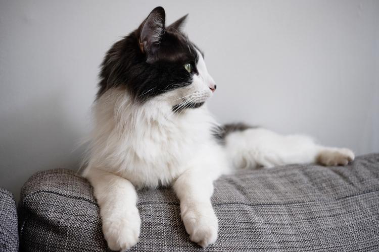 cat, norwegianforestcat - beaupearce | ello
