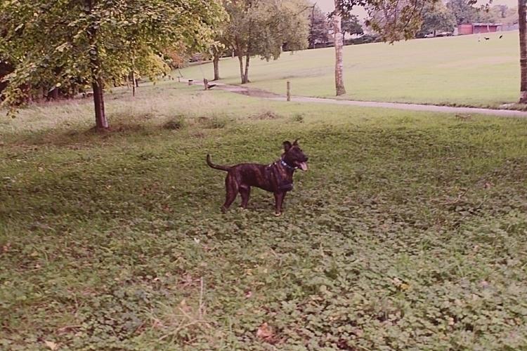 meeko - germanshepherd, doglovers - tracey85 | ello