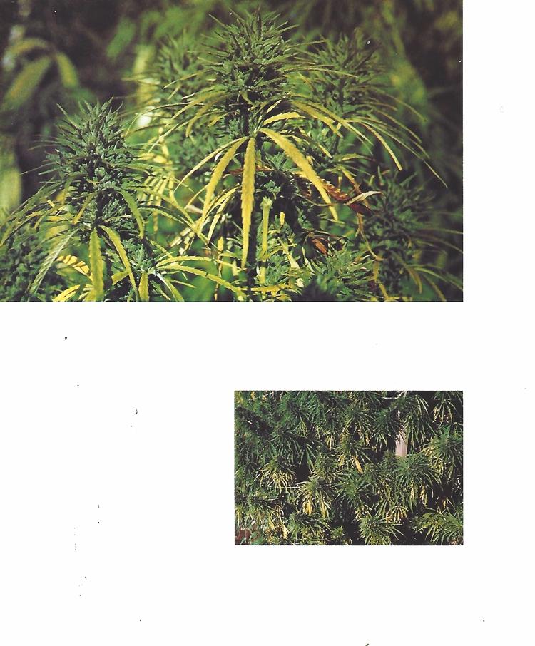 cannabis, ellocannabis, bookplate - ellocannabis | ello