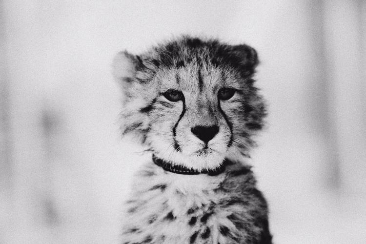Cheetah - reduceddesign   ello