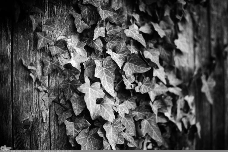Vines Love ivy growing fence. B - dangrabbit-photography | ello