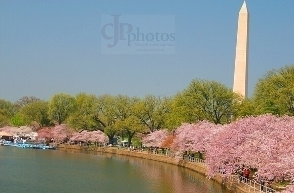 Washington DC Cherry Blossom Fe - cjpphotos | ello
