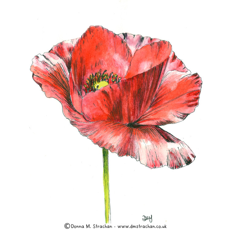 poppy day 6 Inktober. Pen ink w - donnamstrachan | ello