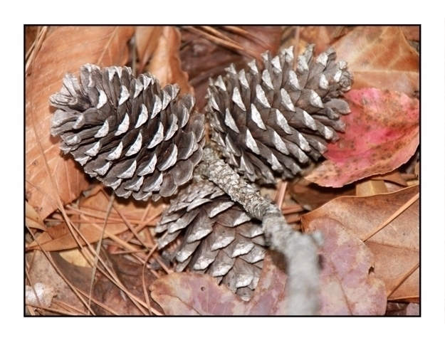 Pine Cones, Big Thicket Nationa - etbtravelphotography | ello