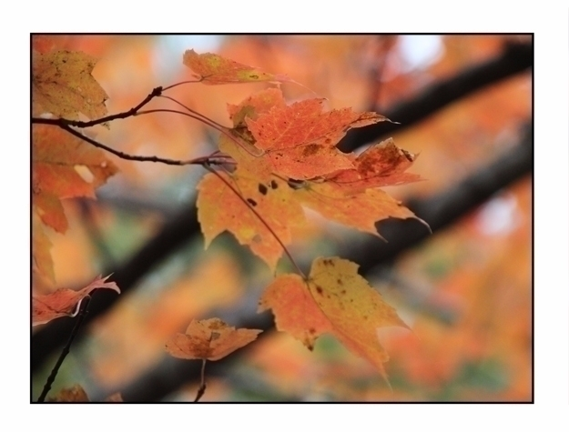 Maple Leaf, Camden Hills State  - etbtravelphotography | ello