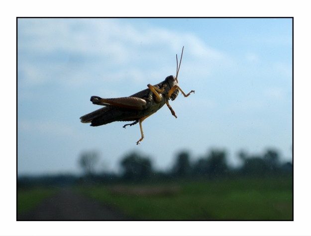 Grasshopper, Holla Bend Nationa - etbtravelphotography | ello