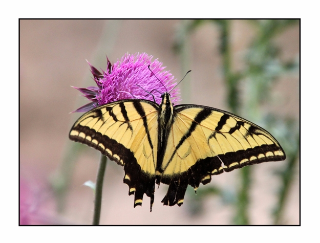 Western Tiger Swallowtail Butte - etbtravelphotography | ello