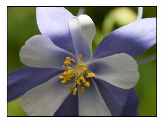 Blue Columbine Wildflower, Colo - etbtravelphotography | ello