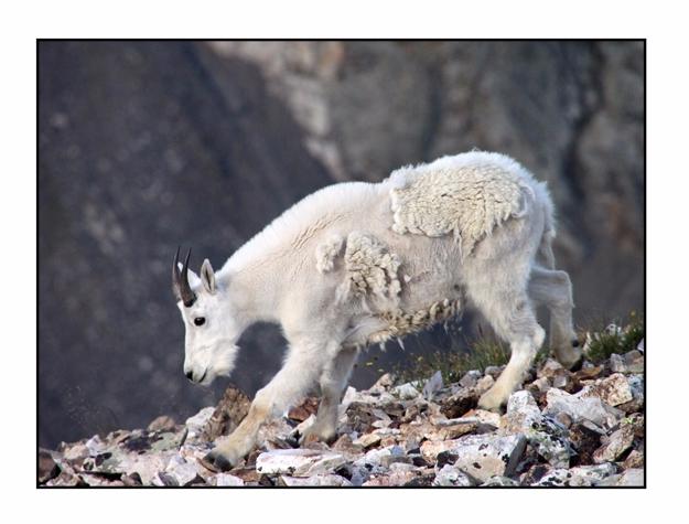 Mountain Goat, Quandary Peak, B - etbtravelphotography   ello