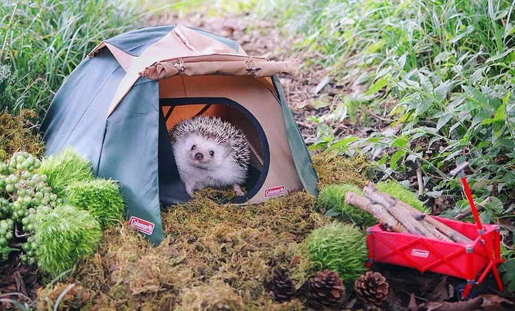 hedgehog camping trip - backcountry - adaptnetwork | ello