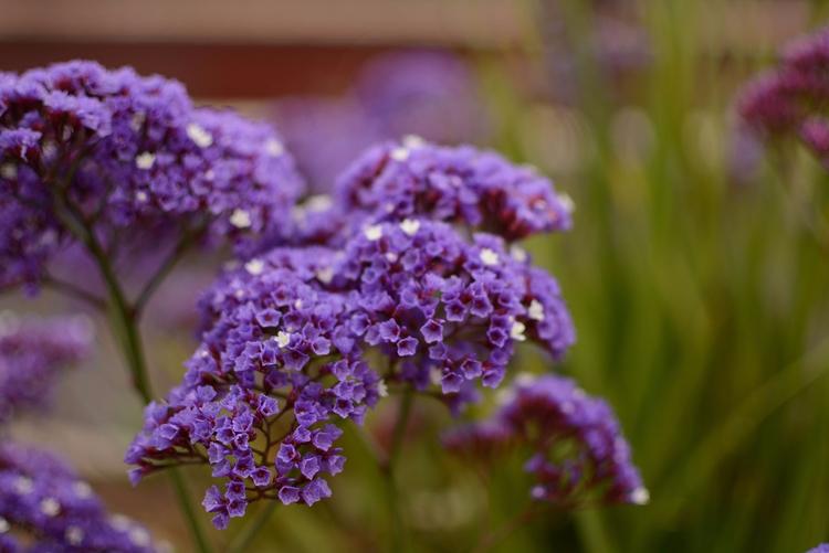 flowers: hydrangea? verbena - photography - sneakymoon | ello